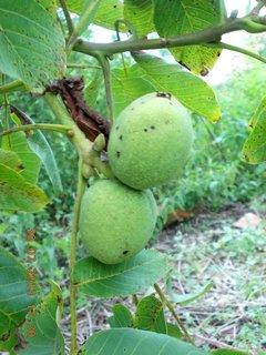 FOTKA - 19 - 30.7 - vlašský ořechy budou veliký