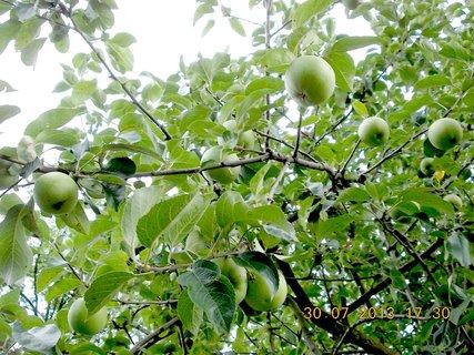 FOTKA - 20 - 30.7 - rostou jabl��ka, rostou, ale moc jich letos nebude