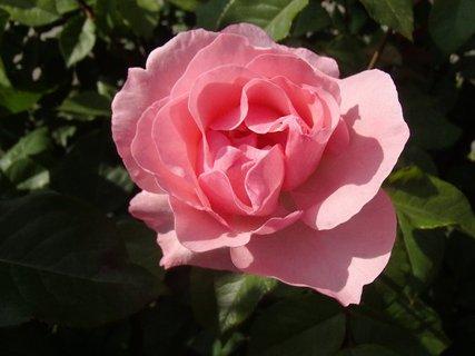 FOTKA - ružová ružička