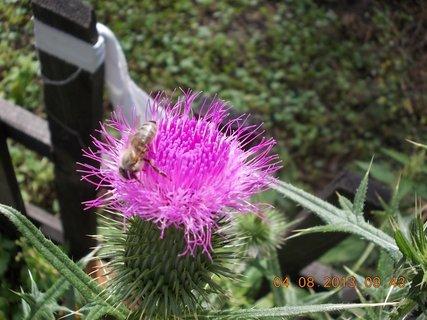 FOTKA - 4.srpna - 10 - květ na bodláčí a mlsající včelička