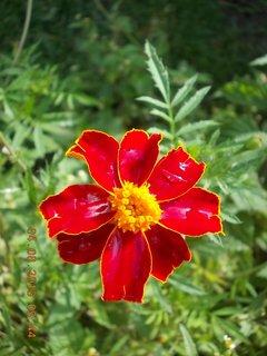 FOTKA - 4.srpna - 16 - po dešti, samá kapička je květ