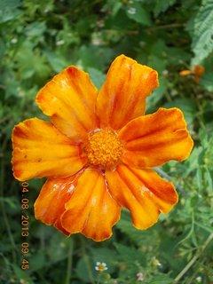 FOTKA - 4.srpna - 20 - po dešti, květ je plný vody