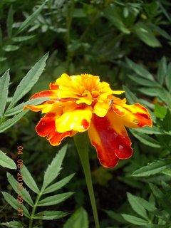 FOTKA - 4.8. - 3 - divně narostlý květ
