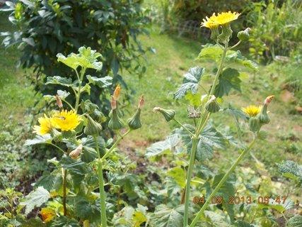 FOTKA - 4.8. - 5 - plevelní žluťáskové
