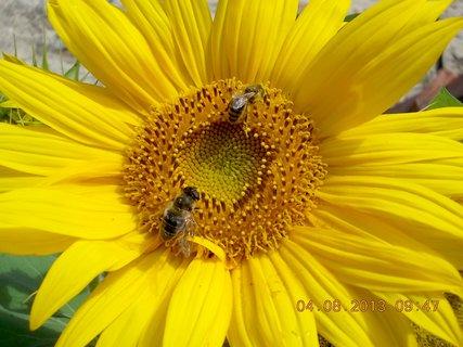 FOTKA - 4.8. - 6 - včeličky mají ráj na slunečnicích