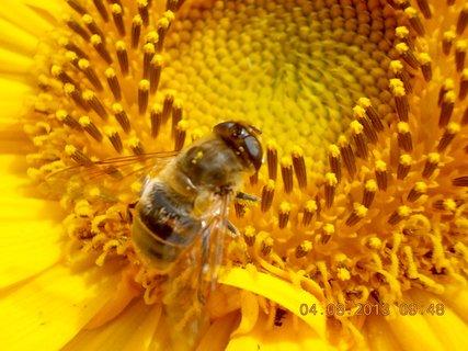 FOTKA - 4.8. - 7 - včeličky mají ráj na slunečnicích