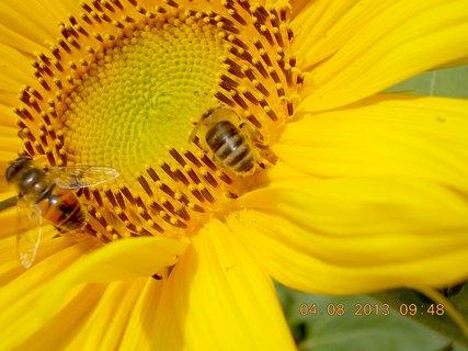 FOTKA - 4.8. - 8 - včeličky mají ráj na slunečnicích