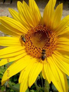 FOTKA - 4.8. - 9 - včeličky mají ráj na slunečnicích