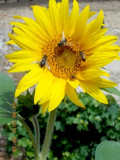 FOTKA - 4.8. - 10 - včeličky mají ráj na slunečnicích
