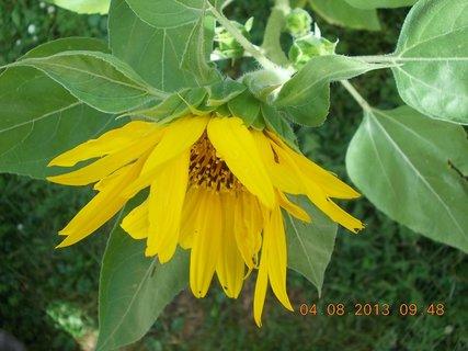 FOTKA - 4.8. - 11 - včeličky mají ráj na slunečnicích
