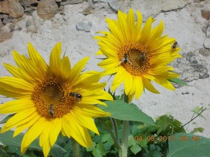 FOTKA - 4.8. - 13 - včeličky mají ráj na slunečnicích