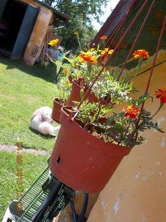 FOTKA - 4.8. - 21 - Afrikánky v závěsných květináčích