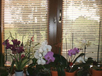 FOTKA - Kvetoucí orchideje