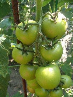 FOTKA - rajčinky, ešte sú zelené