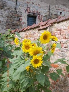 FOTKA - 6.8 + 7.8. - 22 - kouzlo slunečnic