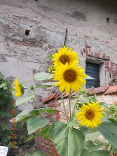 FOTKA - 6.8 + 7.8. - 23 - kouzlo slunečnic
