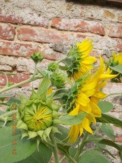 FOTKA - 6.8 + 7.8. - 25 - kouzlo slunečnic