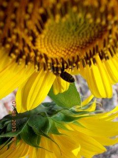 FOTKA - 6.8 + 7.8. - 26 - kouzlo slunečnic
