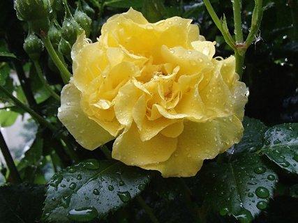 FOTKA - zmoknutá ruža