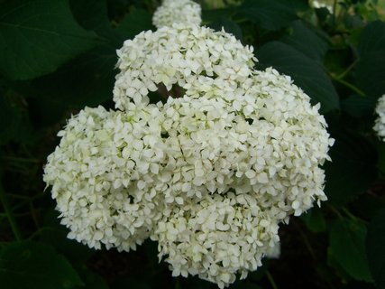 FOTKA - Květ zahradní hortenzie