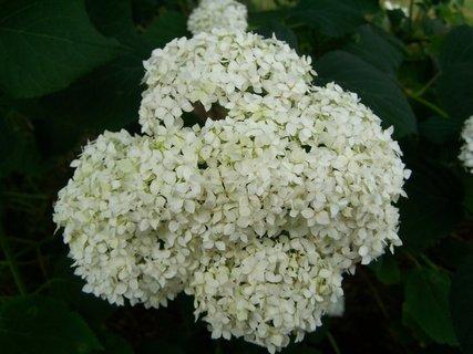 FOTKA - Kv�t zahradn� hortenzie
