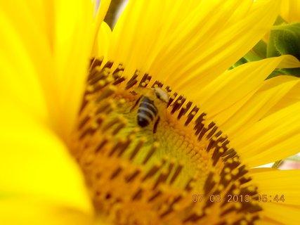 FOTKA - 7.8. - 6 - včeličky mají ráj na slunečnicích