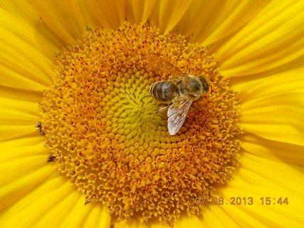 FOTKA - 7.8. - 7 - včeličky mají ráj na slunečnicích