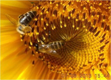 FOTKA - 7.8. - 8 - včeličky mají ráj na slunečnicích