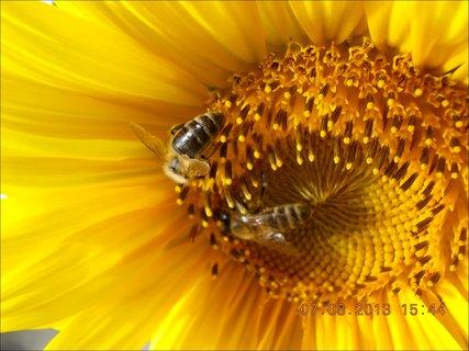 FOTKA - 7.8. - 9 - včeličky mají ráj na slunečnicích
