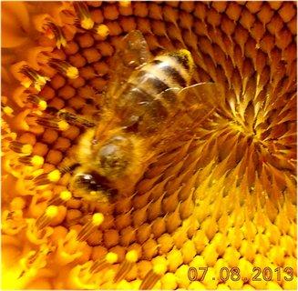 FOTKA - 7.8. - 10 - včeličky mají ráj na slunečnicích