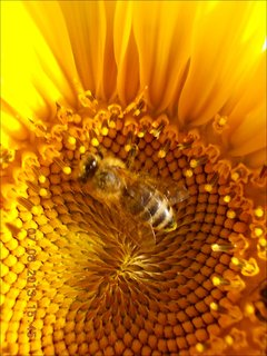 FOTKA - 7.8. - 11 - včeličky mají ráj na slunečnicích