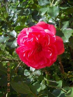 FOTKA - 8+7.8. - 8 - růže