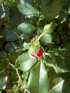 FOTKA - 8+7.8. - 9 - růže