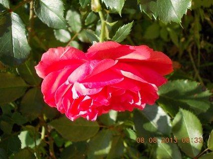 FOTKA - 8+7.8. - 10 - růže