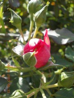 FOTKA - 8+7.8. - 11 - růže