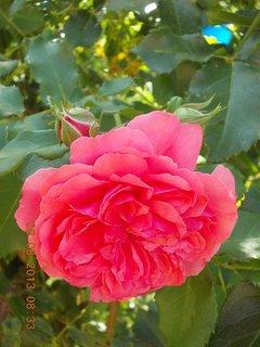 FOTKA - 8+7.8. - 12 - růže