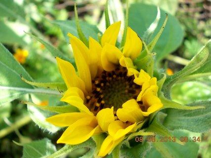 FOTKA - 8+7.8. - 13 - malá slunečnice