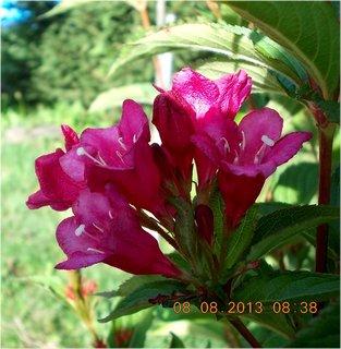 FOTKA - 8+7.8. - 25 - Wiegela má stále nové květy, prostě kvete znovu letos, asi díky tropům