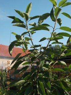 FOTKA - 8.srpen - 1 -  letos zasazená třešnička