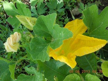 FOTKA - 8.srpen - 3 -  květy dýně