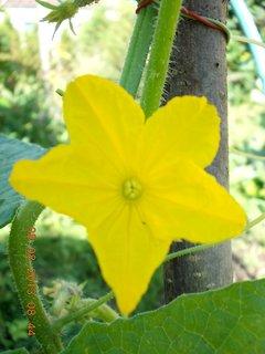 FOTKA - 8.srpen - 4 -  květ okurky