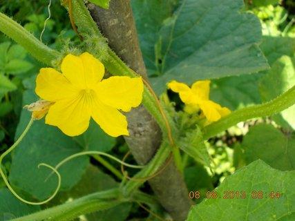 FOTKA - 8.srpen - 5 -  květ okurky