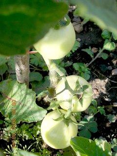 FOTKA - 8.srpen - 8 -  stále mám rajčata zelený