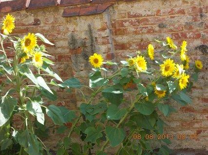 FOTKA - 8.srpen - 11 -  slunečnice se ohýbají pod tíhou vody po dešti