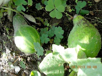 FOTKA - 8.srpen - 12 -  bachratý okurky