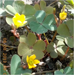 FOTKA - 8.srpen - 14 -  plevelní kvítka