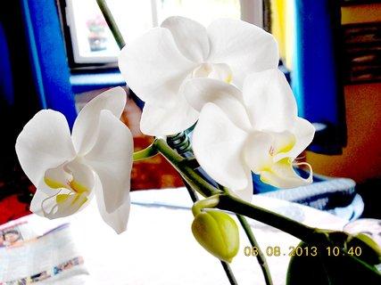 FOTKA - 8.srpen - 16 -  další kvetoucí orchidejka