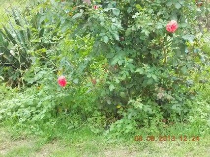 FOTKA - 8.srpen - 21 -  kvete znovu růže