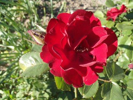 FOTKA - ružička kvitne