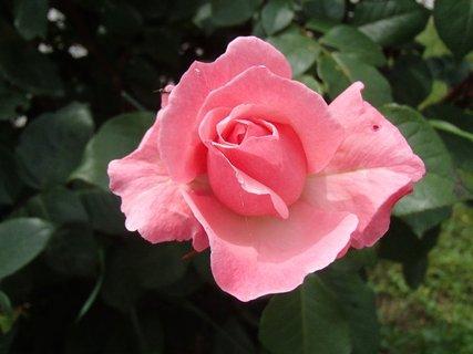 FOTKA - bledoružová ruža